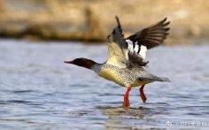 柳州发现中华秋沙鸭