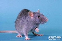 属鼠的属相婚配表 属鼠和什么属相最配
