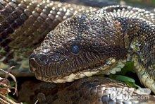 梦到大蟒蛇是什么预兆 梦到大蟒蛇周公解梦