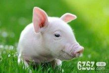 7月生肖猪能福星高照吗 2021年生肖猪运势好吗